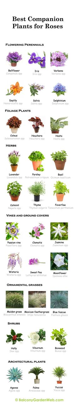 30 Diagrams to Make You Master in Growing Roses 2019 What are the Best Companions for Roses? Take help of this chart. You can save or share it for later use. The post 30 Diagrams to Make You Master in Growing Roses 2019 appeared first on Flowers Decor. Garden Plants, Indoor Plants, Garden Web, Balcony Garden, Rose Companion Plants, Companion Planting Chart, Growing Roses, Growing Plants, Foliage Plants