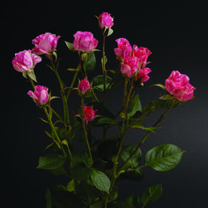 Pink Flash #RosesColombia #RedilRoses #ColombianFlowers #Roses #BlomFlores #Regalos