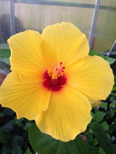 Little Hula Hibiscus ~ Proudly grown in Deer Park, Texas by Hibiscus Country