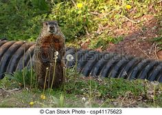 Stock Photo - Alert Woodchuck - stock image, images, royalty free photo, stock photos, stock photograph, stock photographs, picture, pictures, graphic, graphics