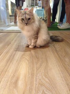 High End Resilient Flooring (HERF) - Hazelnut Design. Purrrr~fect flooring for pet lovers  (=^・ω・^=). Home owners can be assured that high end resilient floor is pet friendly because of its ceramic bead technology coating that makes it highly resistant to scratches.