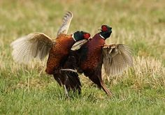 Pheasants looking delightfully daft.