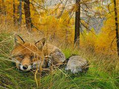 Fox Found, Parque Nacional Gran Paradiso en Italia Fotografía de Stefano Unterthiner National Geographic Photo Of The Day Internet Favorites 2015 34 880