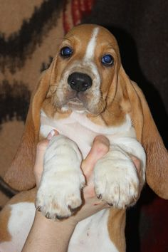 Reminds me of Droopy He was a sweet little boy when we first got him and turned out to be a real character and miss him so much!