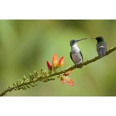 Andean With Green Thorntail Female In Lowland Rainforest, Ecuador by Murray Cooper Animals Art Print