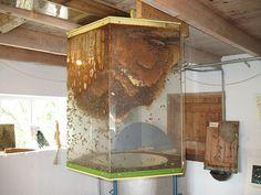 Giant observation hive  #beekeeping #honeybees