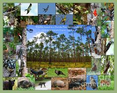 This is a collage of wildlife that commonly inhabits the Florida Pineland habitats. This collage was create for my final project in the Florida Master Naturalist Program - Uplands Habitat Course. The collage was cut into a puzzle and the classroom activity was to piece together the puzzle and identify the 33 species represented in the collage.