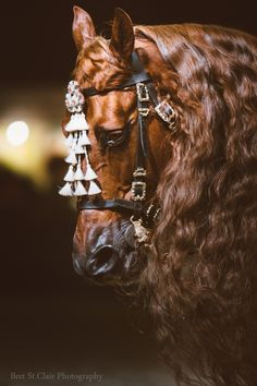 Majestic Chestnut colored Andalusian Lusitano horse breed. - Performing at 'LaMasters' -  by Bret St.Clair Photography