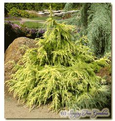 Dwarf Conifer - Species: Deodara - 'Gold Cascade' only 2-3' tall in 10 yrs