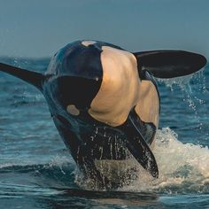 Orcas are not my favorite whale but this snapshot is pretty awesome