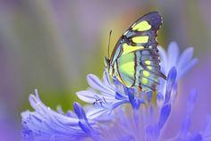 Malachite Butterfly, Florida, photo by Gail Shumway