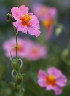 ~~And They Call It Summer ~ Rockrose / Sonnenroeschen (Helianthemum) by AnyMotion~~