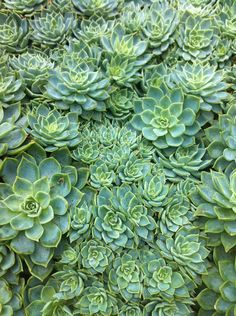 """One of the few """"flowers"""" that are actually teal, turquoise or mint in color... gotta love some succulents."""