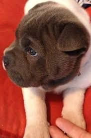 Image result for frenchie-pei