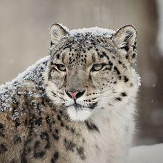 Panthera blytheae resembles a modern snow leopard.