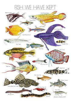 FISH WE HAVE KEPT Electric Egg's Neil Baker is a keen fish keeper as well as being a filmmaker, animator and illustrator. His love of natural history illustration led him to produce this to hang above. Fish Chart, Aquariums, Salt Water Fish, Freshwater Aquarium Fish, Fish Drawings, Kunst Poster, Types Of Fish, Beautiful Fish, Fish Design