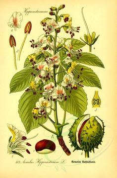 Aesculus hippocastanum - Aesculus hippocastanum is a large deciduous tree, commonly known as horse-chestnut or conker tree Botanical Drawings, Botanical Prints, Floral Prints, Chestnut Horse, Plant Painting, Deciduous Trees, Leaf Art, Medicinal Plants, Beautiful Paintings