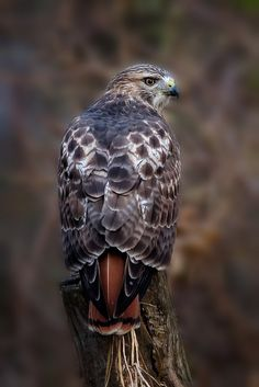 Red tailed hawk by Great Horned Owl by ~gregster09*