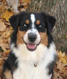 Australian Shepherd, black tri with blue eyes!!! So gorgeous!!!