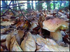 borowik #grzyby #grzybobranie #mushrooms #las #forest #borowik #borowik #szlachetny #borowiki #boletus #prawdziwek #prawdziwki #runo-leśne #natura #Beskidy #Polska #Poland #grzyby-jadalne #grzyby-w-Polsce #małopolska #grzybiarz #grzyb