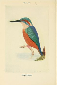 Kingfisher. British birds & their eggs : with a new method of identification  London :W. & R. Chambers,1909.  Biodiversitylibrary. Biodivlibrary. BHL. Biodiversity Heritage Library