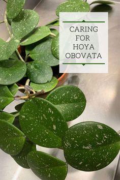 Hoya Obovata: Expert Care Tips for the Home Grower! Hoya Obovata: Expert Care Tips for the Home Grow Tropical Plants, Cactus Plants, Garden Plants, Indoor Plants, House Plants, Indoor Gardening, Indoor Orchids, Cactus Flower, Hoya Plante