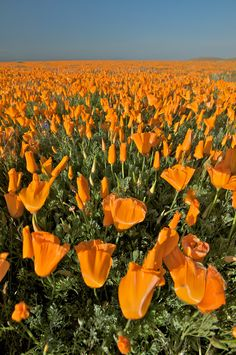 RL Antelope Valley California Poppy Reserve, California (the California flower) Amazing Flowers, Wild Flowers, Beautiful Flowers, California Poppy, Fuerza Natural, Spring Wildflowers, M Anime, Deco Floral, Poppies