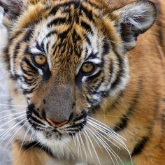 big cats - tigers #tigers #lions #jaguars #leopards #cheetah