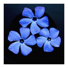 Minimalist Square Flower Fine art photography Blue by AylilAntoniu