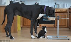 The color coordinated kitten and Great Dane who are the best of friends.