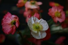 floret flower farm icelandic poppies