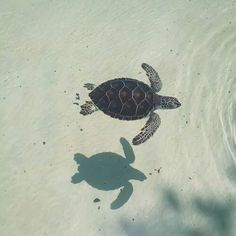 animals cute summer young peaceful sun nature beach sand waves ocean sea free wild turtle beach life leash-up Baby Sea Turtles, Cute Turtles, Cute Baby Animals, Animals And Pets, Funny Animals, Wild Animals, Beautiful Creatures, Animals Beautiful, Turtle Love