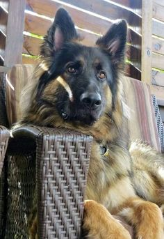 German Shepherd Dog looks like my bud Big Dogs, I Love Dogs, Cute Dogs, Dogs And Puppies, Doggies, Beautiful Dogs, Animals Beautiful, Cute Animals, Schaefer