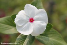 White vinca flower - Great little flower...loves the heat & comes right back if you do not get out to water!  Use these in all my deck boxes...They are so hardy but look so delicate!