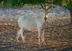 Der weiße Esel von Illmitz Zebras, Austria, Horses, Animals, Grey Goose, Types Of Animals, Donkeys, National Forest, Animales