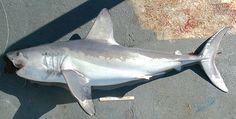 Porbeagle shark Order: Lamniformes Family: Lamnidae Genus: Lamna Species: L. Zebra Shark, Leopard Shark, Reef Shark, Blue Shark, Species Of Sharks, Endangered Species, Arctic Fox Facts, Pelagic Zone, Pisces