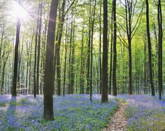 Path through Bluebells Forest - Wall Mural & Photo Wallpaper - Photowall