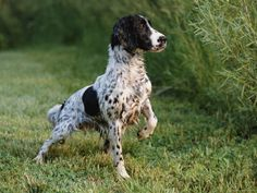 Working or field type English Springer Spaniel.
