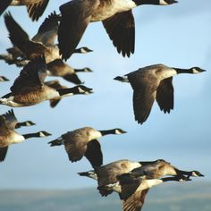 "Canadian Geese - as they migrate they take turns being the lead to ""break"" the air so no one gets too tired."