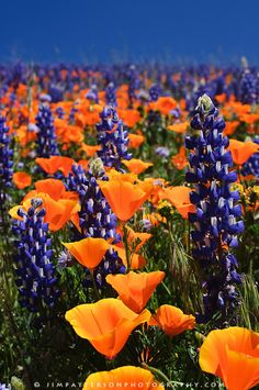 Fields and hills covered in California poppies, purple lupine, and a variety of wildflowers in southern California.