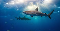 Ban the Trade of Shark Fins in the U.S.