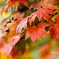 No matter what size garden you have, there's a colorful type of maple tree to fit your needs. Find out more about the different varieties of maple trees and find the perfect maple for your garden.