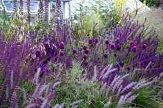 Salvia and Allium by geraldine