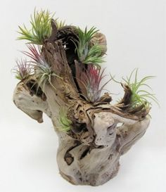 Air Plants in Grapewood