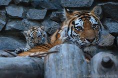 В Новосибирском зоопарке появились на свет три амурских тигренка « FotoRelax