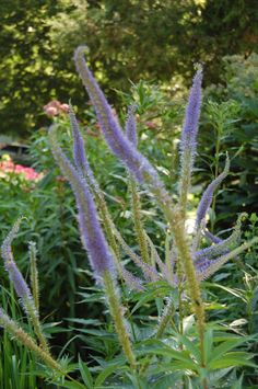 Culver's root or Veronicastrum virginicum. This is the cultivar 'Inspiration'. The species has white flowers.