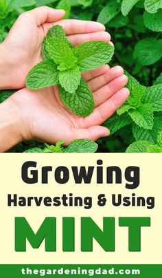 Learn easy and quick tips for Growing, Harvesting, & Using Mint! Tips include how to grow mint from seed, in … Growing Mint, Growing Herbs, Growing Vegetables, Growing Avocado, Herb Garden Design, Diy Herb Garden, Garden Ideas, Herbs Garden, Potted Herb Gardens