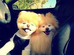 boo et buddy deux chiens mignons peluches vivantes 1   Boo et Buddy   web star spitz pomeranien photo peluche nain loulou de Pomeranie image...