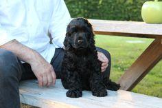 Sam, our black english cocker spaniel <3  3 months old #cockerspaniel #englishcockerspaniel #spaniel