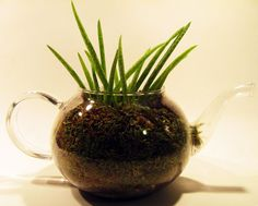 Aloe Vera in a Tea Pot Planter... I want to decorate tea pot & tea cup planters for our yard <3